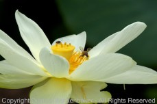 A lily with bees gathering pollen at Amnicola Marsh