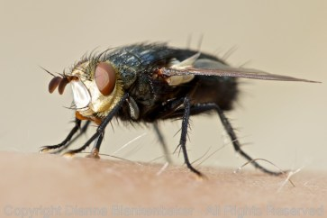 I was truly mesmerized by this fly--every shot revealed something else bizarre about him/her.