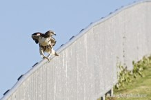 Flexible legs make this an interesting moment when the hawk was about to turn around