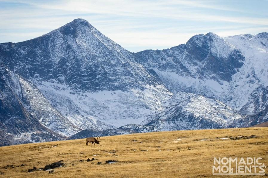 Trail Ridge Elk