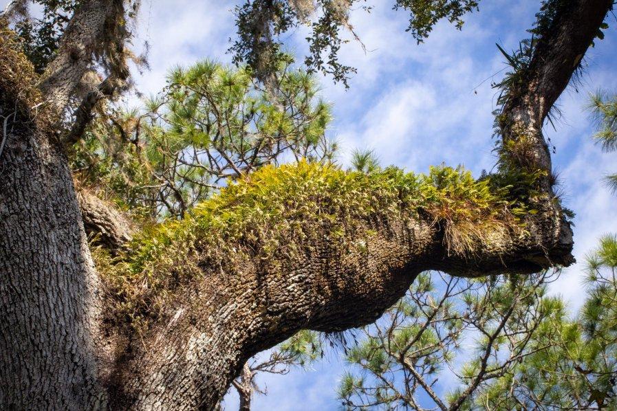 Highlands Hammock Oak Limb