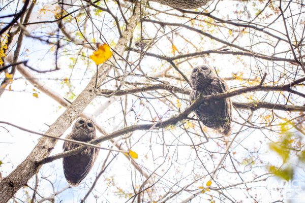 Swamp Owls