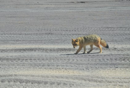 Culpeo at Reserva Nacional de Fauna Andina Eduardo Abaroa, Bolivia