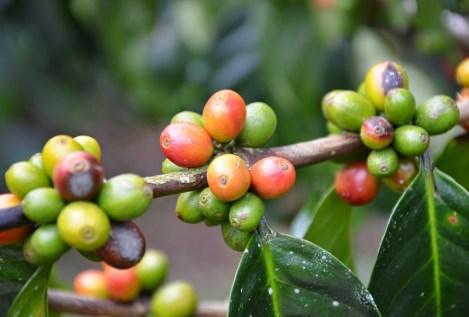 Coffee at Parque Nacional del Café in Quindío, Colombia