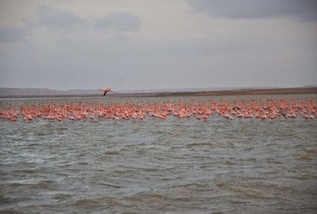 Flamingos on Bahía Hondita at Punta Gallinas, La Guajira, Colombia