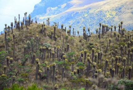 Frailejones at Los Nevados National Park in Colombia