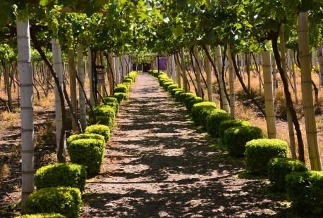Grapevines at Mundo de la Vid at Parque Nacional de la Uva
