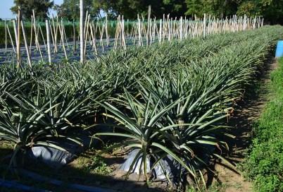 Pineapples at Parque Nacional de la Uva La Unión Valle del Cauca Colombia