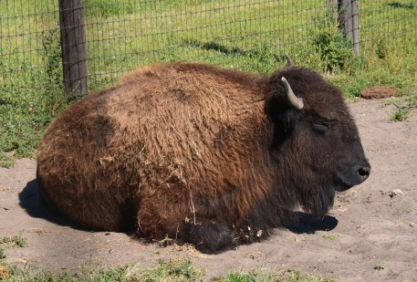 Buffalo at Scout's Rest Ranch in North Platte Nebraska