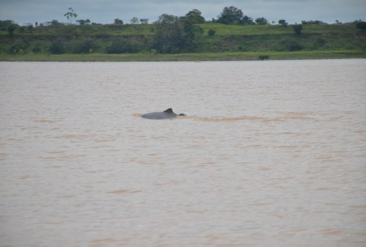 Amazon River Dolphin Colombia