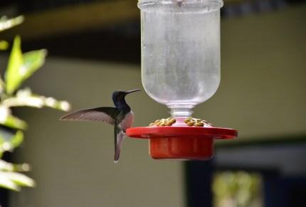 Hummingbird at Quindío Botanical Garden