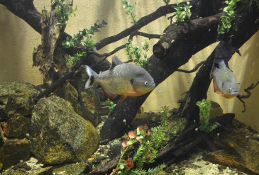Piranhas at Zoológico de Cali in Colombia