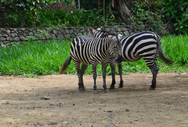 Zebras at Zoológico de Cali in Colombia