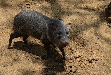 Boar at Zoológico de Cali in Colombia