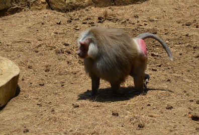 Baboon at Zoológico de Cali in Colombia