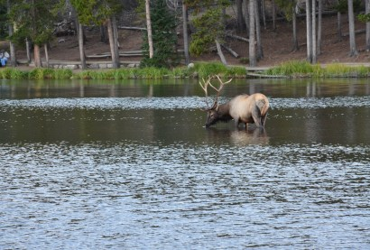 Elk at Sprague Lake in Rocky Mountain National Park, Colorado