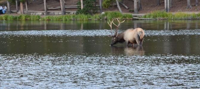 A Near-Elk Experience