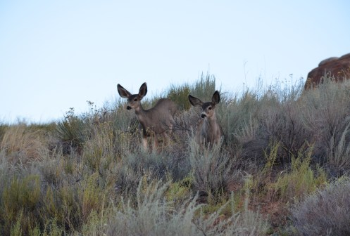 Mule deer on the Devil's Garden Trail at Arches National Park in Utah
