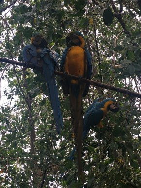 Parrots at the Aviario Nacional in Colombia