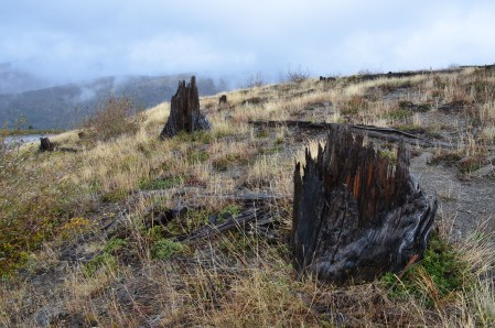 Charred stumps at Mount St. Helens National Volcanic Monument in Washington