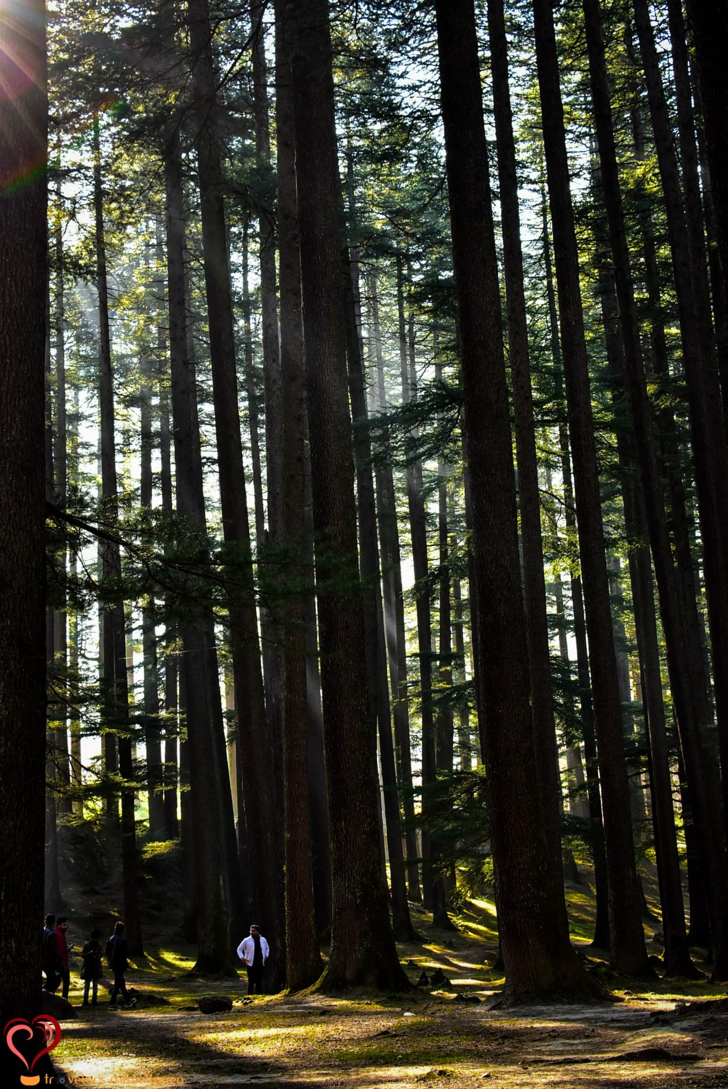 Deodar Forest at Hadimba 2.jpg