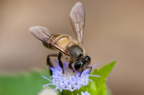 Indica or Asiatic bees