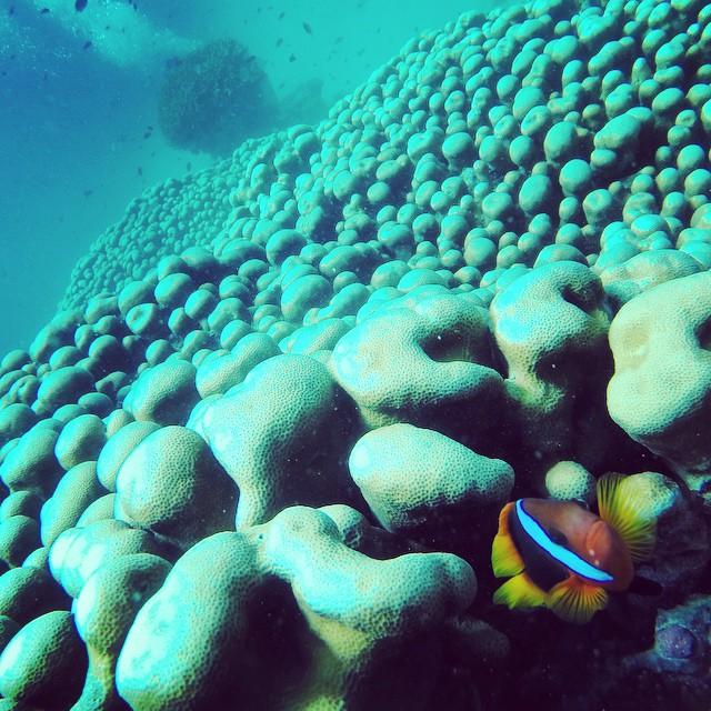 P. Sherman, 42 Wallaby Way, Sydney #Ocellaris #Clownfish #AnemoneFish #Amphiprion #ocellaris #Amphiprionocellaris #GreatBarrierReef #CastleRockReef #Nemo #FoundNemo #Ocean #Scuba #Australia #Queensland #Travel