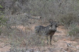 Curious warthog