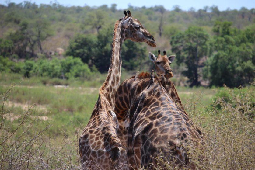 Giraffe cluster
