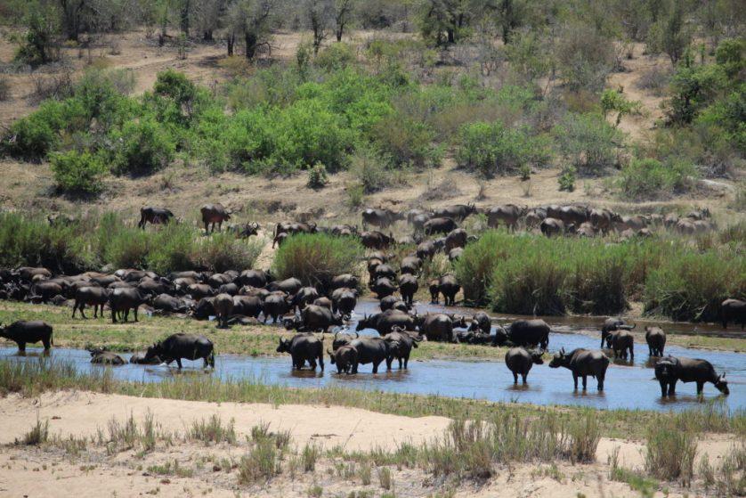 Water buffalo herd