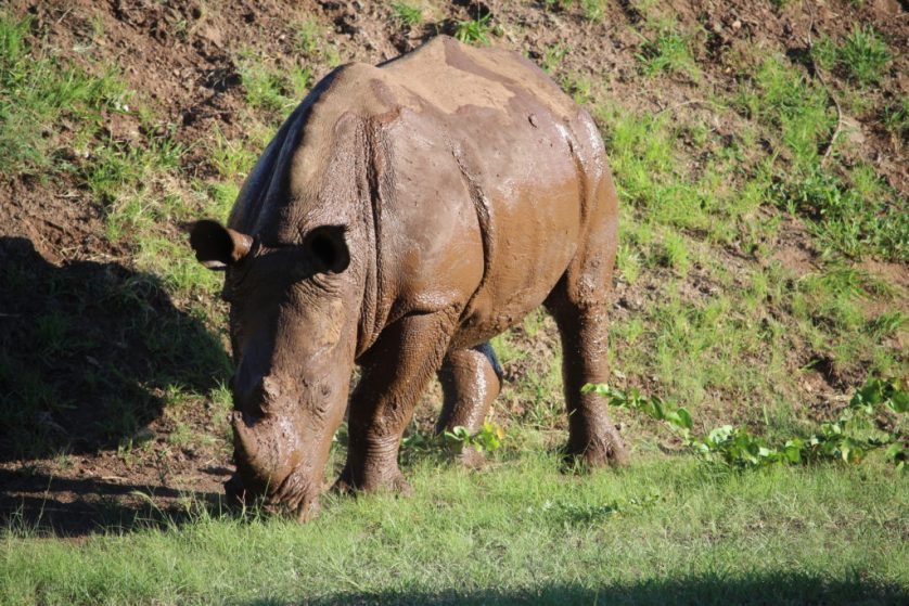 Mud covered Rhino