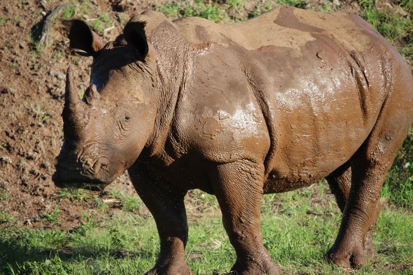 White Rhinos in Zambia