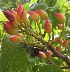 pianta pistacchio.jpg