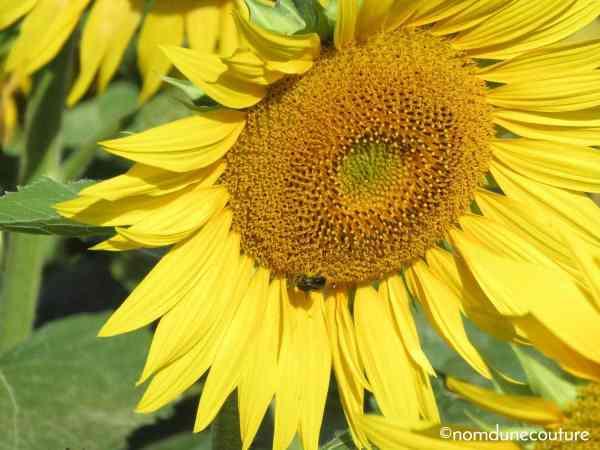 une abeille sur un tournesol