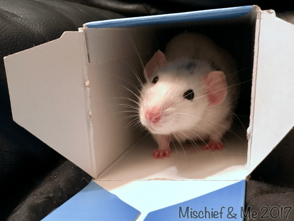 rat in a box