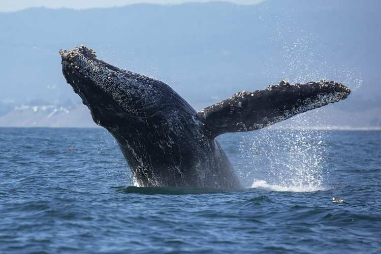 Photo of a Leaping Whale While Whale Watching in Maine.