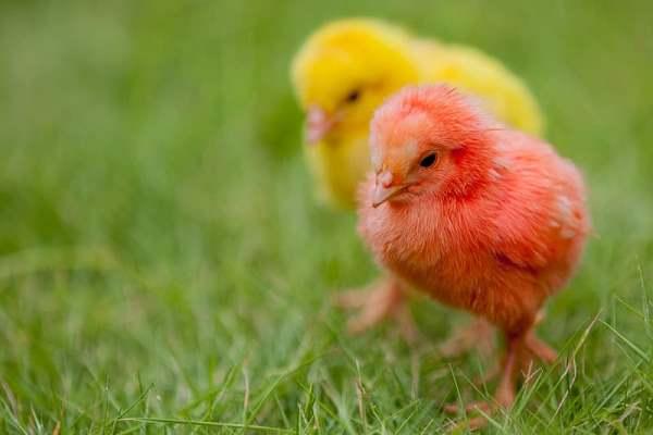 vaksin ayam broiler joper petelur