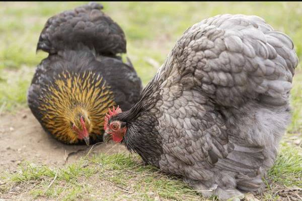 perbedaan ayam brahma dan ayam cochin