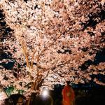 縮景園に桜を見に行って来ました