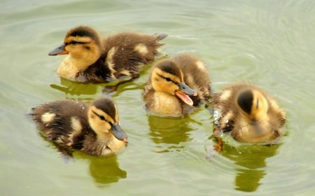 mallard-ducklings-938666_960_720
