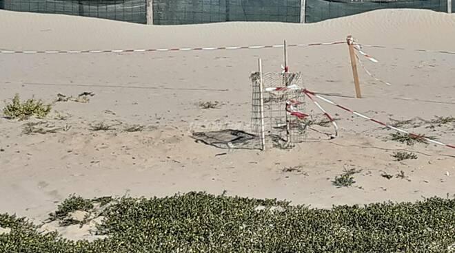 Due nidi di Fratino scoperti al Parco di San Rossore in Toscana