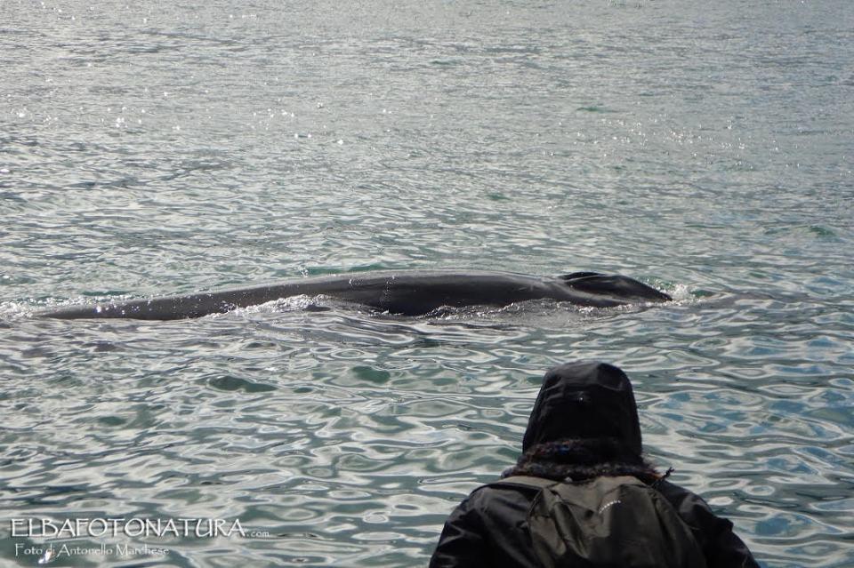 Portoferraio, avvistate due balenottere lungo la Darsena Medicea