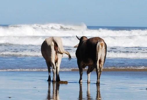 Le mucche della Transkaii (foto dell'autore)
