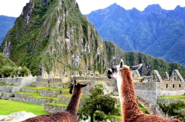 Lama e Huayna Picchu sullo sfondo