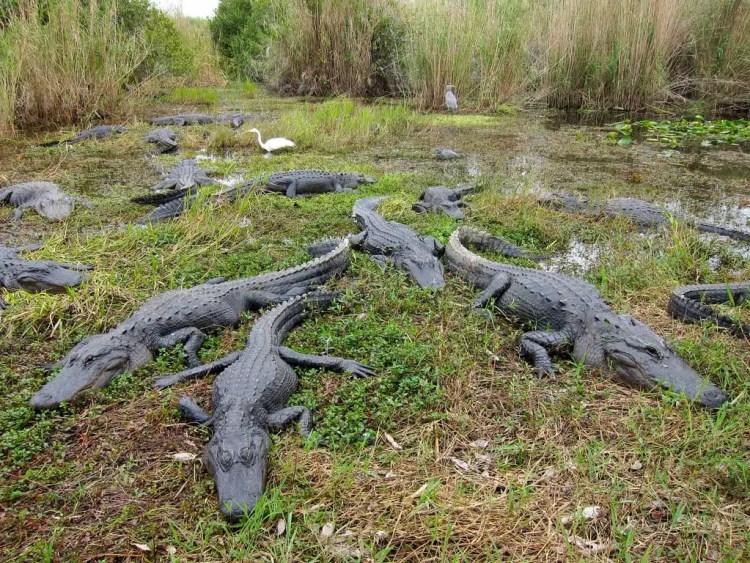 Coccodrillo americano, Everglades National Park - Miami, USA