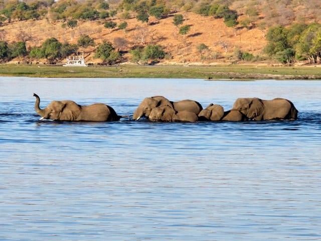 Elefanti, fiume Chobe - Botswana