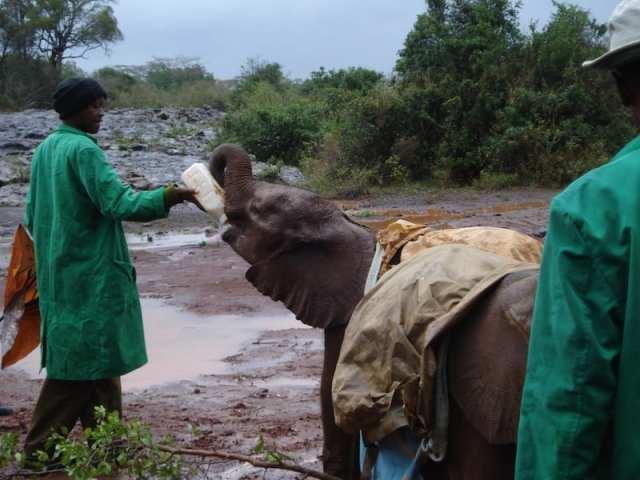 Cucciolo di elefante, David Sheldrick Wildlife Trust - Kenya