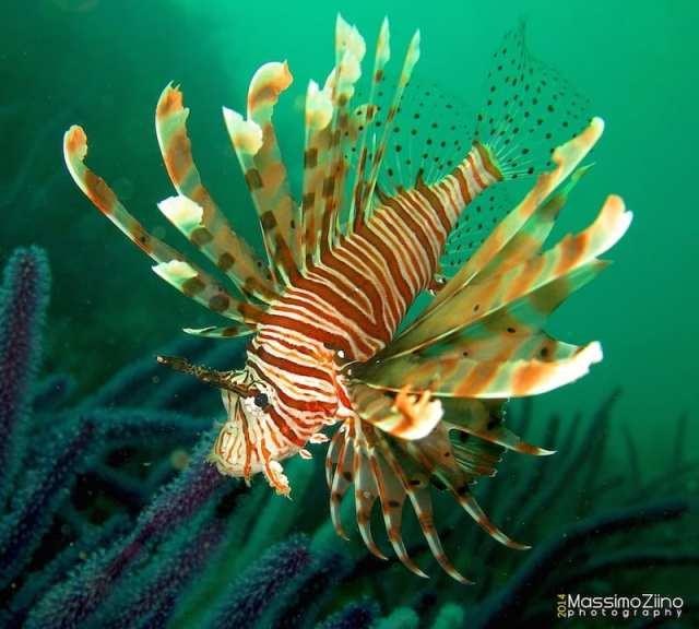 Pesce scorpione - Musandam, Oman