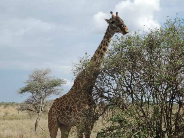 Giraffa, Serengeti, Tanzania