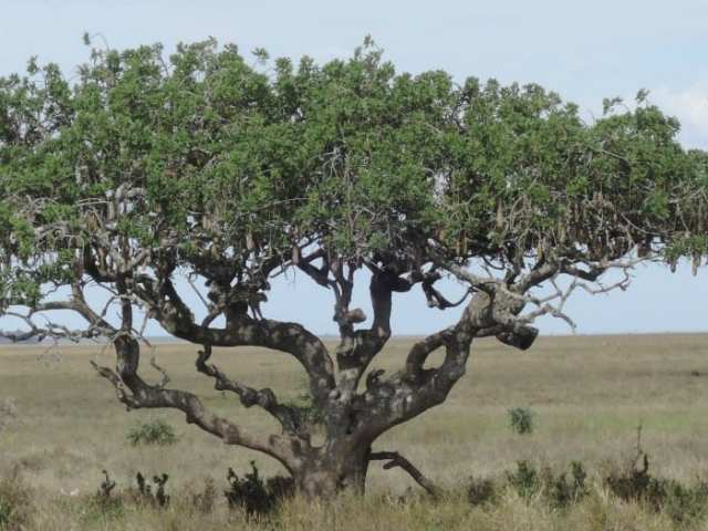 Leopardo, Serengeti, Tanzania